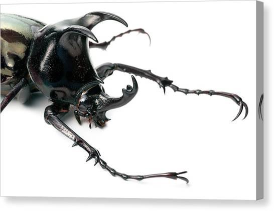 Tropical Rainforests Canvas Print - Atlas Beetle by Alex Hyde