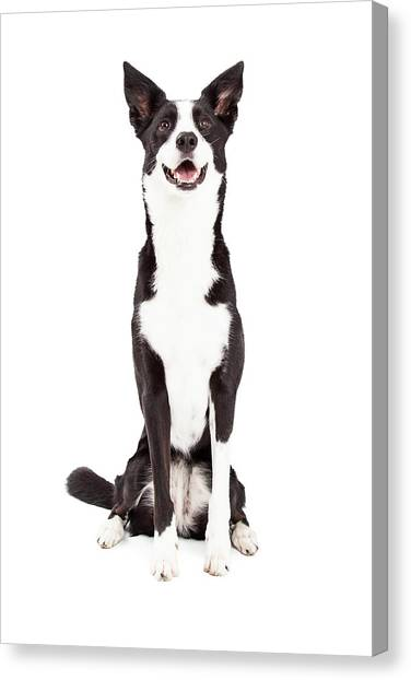 Border Collies Canvas Print - Attentive Border Collie Mix Breed Dog Sitting by Susan Schmitz