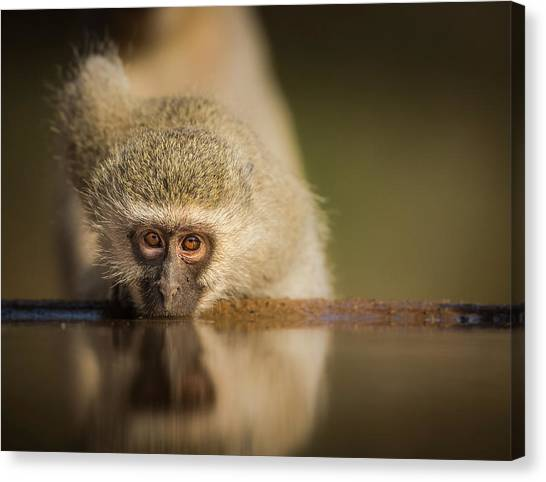 South Africa Canvas Print - Attentive by Jaco Marx