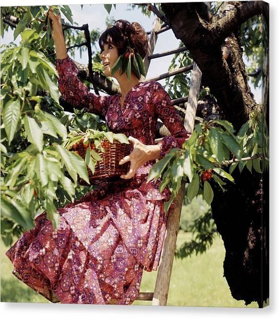 Audrey Hepburn Picking Cherries In Her Orchard Canvas Print