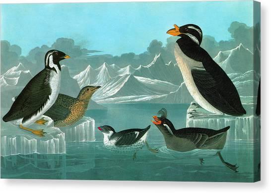 Auklets Canvas Print - Audubon Auks by Granger