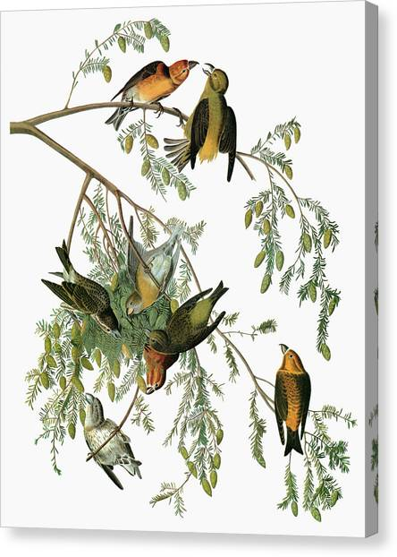 Crossbills Canvas Print - Audubon Crossbill by Granger