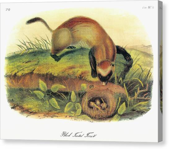 Black-footed Ferret Canvas Print - Audubon Ferret by Granger