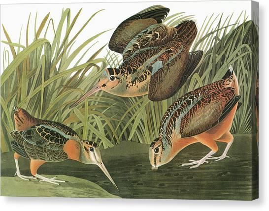 Woodcocks Canvas Print - Audubon Woodcock by Granger