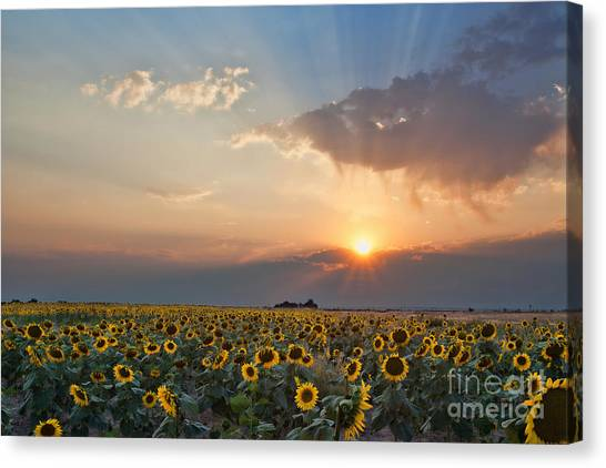 August Dreams Canvas Print