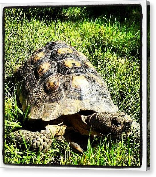 Turtles Canvas Print - Aunt Nancy's Turtle  by Ashley Flowers