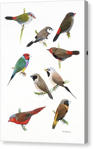 Woodcock Canvas Print - Australian Estrildid Finches by Natural History Museum, London/science Photo Library