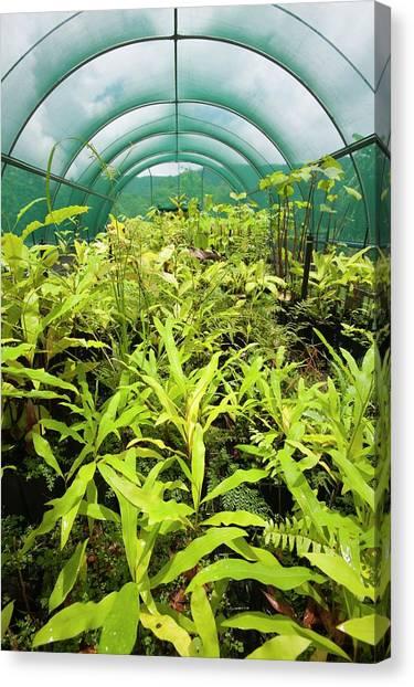 Daintree Rainforest Canvas Print - Australian Rainforest Foundation by Ashley Cooper