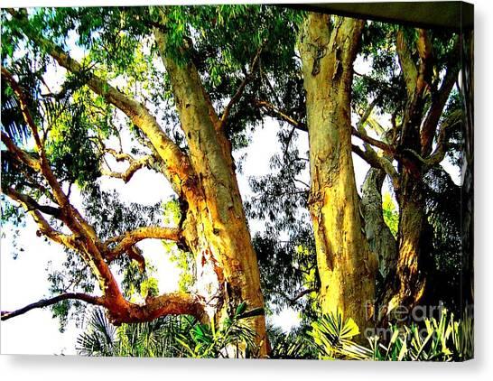 Australian Trees Canvas Print by John Potts
