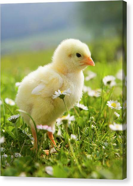 Austria, Baby Chicken In Meadow, Close Canvas Print by Westend61