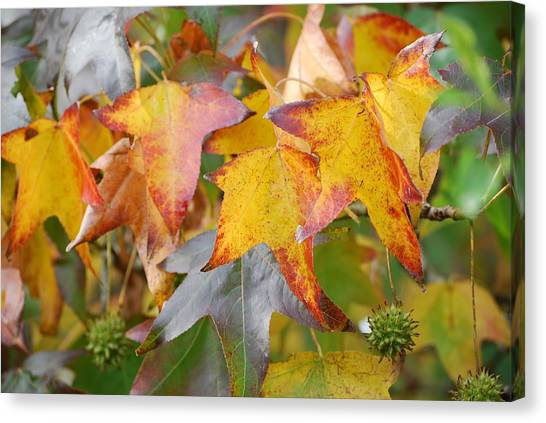 Autumn Acer Leaves Canvas Print