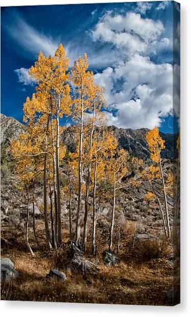 Orange Tree Canvas Print - Autumn Aspens by Cat Connor