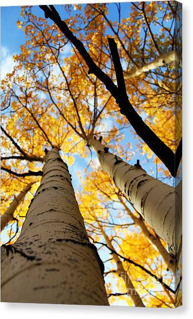 Canvas Print featuring the photograph Autumn Aspens by Kate Avery