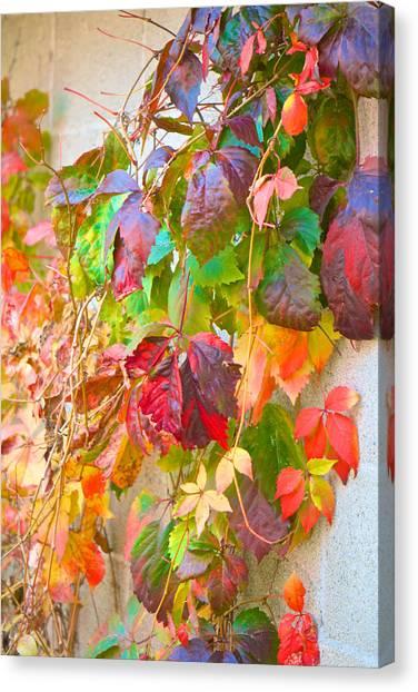 Autumn Colors Of Virginia Creeper Canvas Print