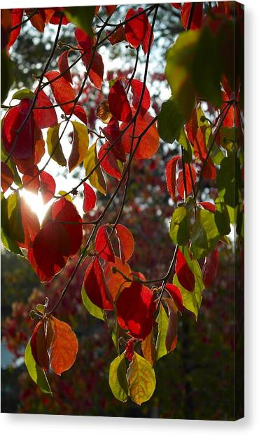 Autumn Dogwood In Evening Light Canvas Print