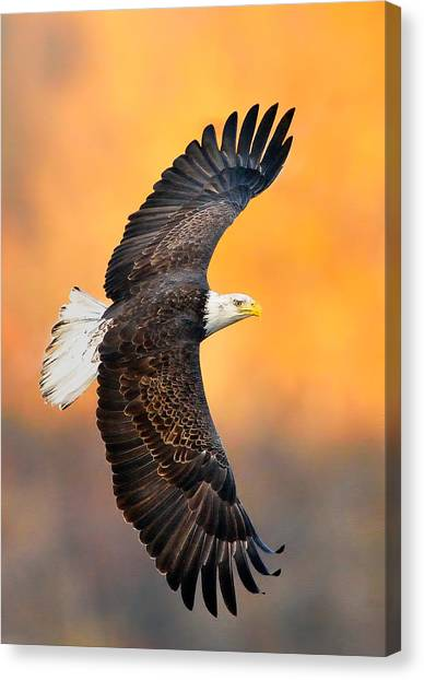 Autumn Eagle Canvas Print