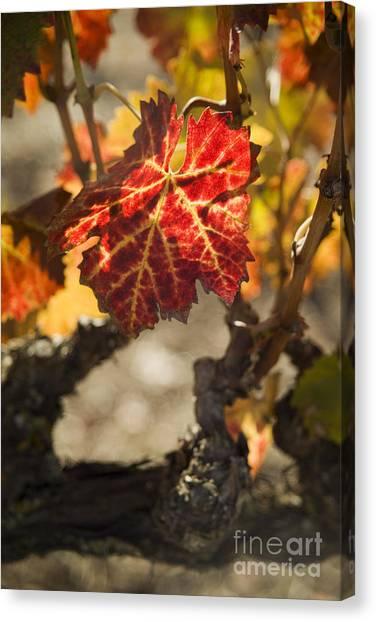Autumn Grape Leaves Canvas Print by Charmian Vistaunet