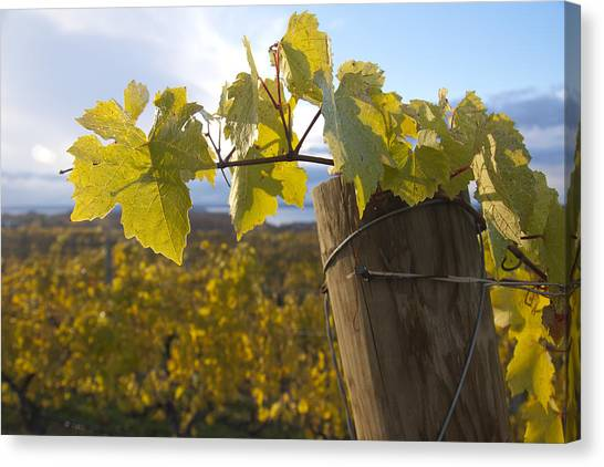 Autumn Grape Leaves Canvas Print