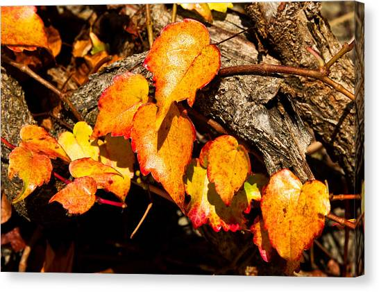 Autumn Ivy Canvas Print