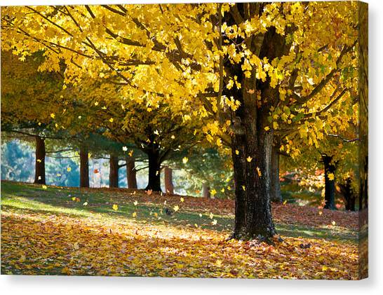 Autumn Maple Tree Fall Foliage - Wonderland Canvas Print