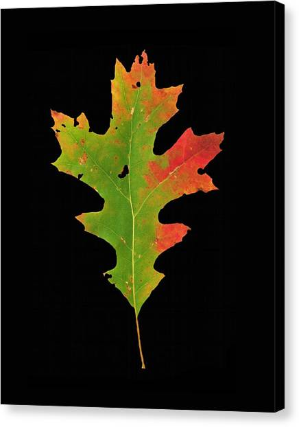 Autumn Red Oak Leaf 1 Canvas Print