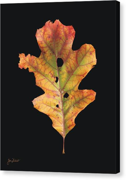 Autumn White Oak Leaf 2 Canvas Print