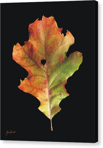 Autumn White Oak Leaf 3 Canvas Print