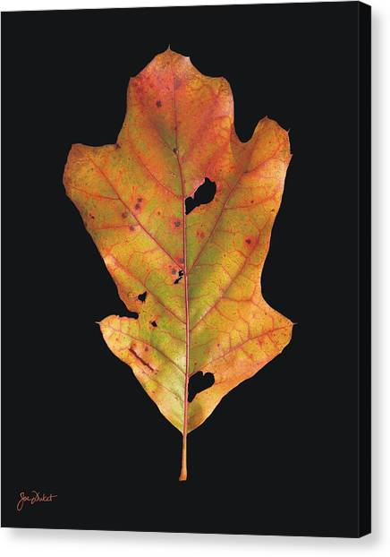 Autumn White Oak Leaf Canvas Print