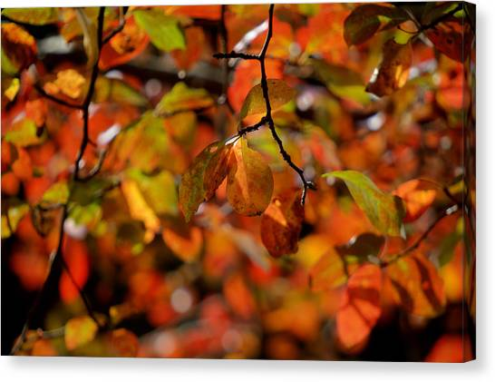 Autumn's Firey Show Canvas Print