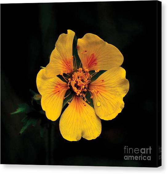 Avens Flower Canvas Print