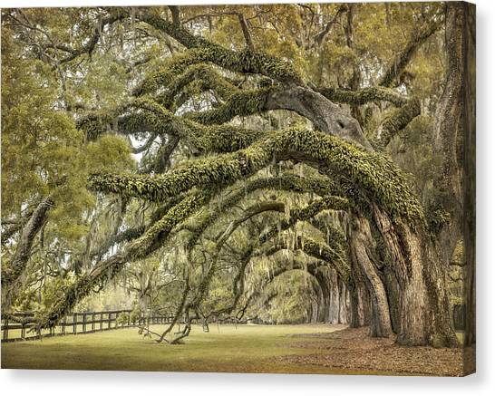 South Carolina Canvas Print - Avenue Of Oaks by Magda  Bognar