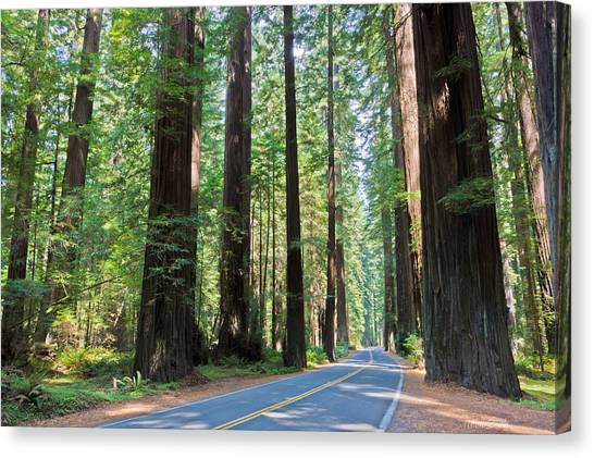 Redwood Forest Canvas Print - Avenue Of The Giants by Heidi Smith