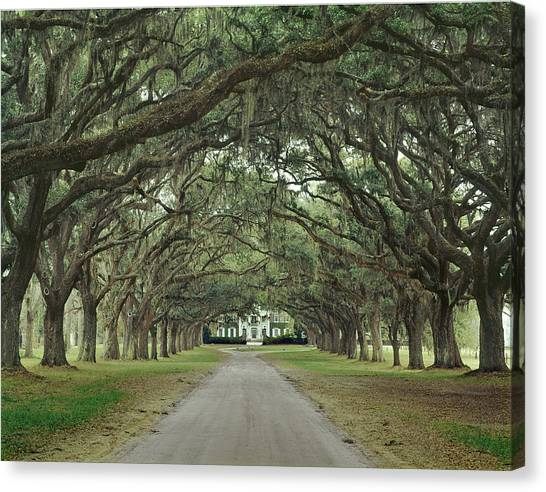 147706-avenue Of The Oaks  Canvas Print