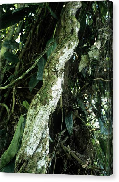 Amazon Rainforest Canvas Print - Ayahuasca Trunk by Dr Morley Read/science Photo Library