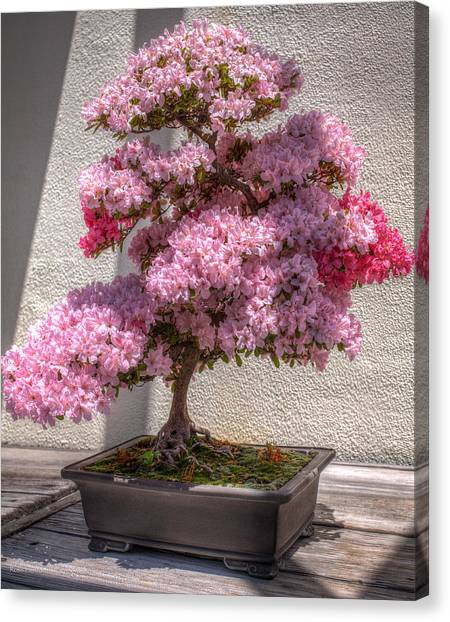 Azalea Bonsai Canvas Print
