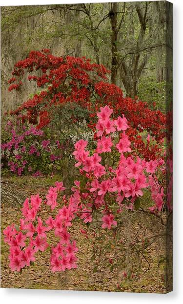 Azaleas Time Canvas Print