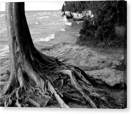 B And W Cedar Roots At Cave Point Canvas Print