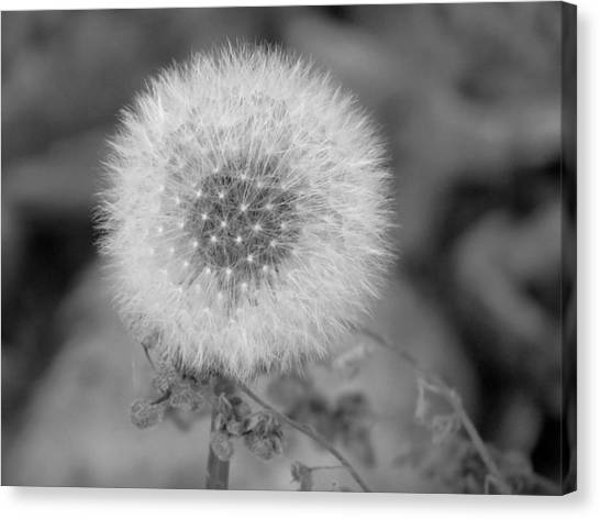 B And W Seed Head Canvas Print