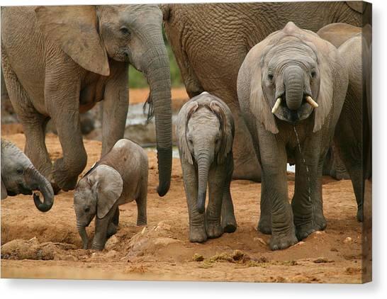 Baby African Elephants Canvas Print