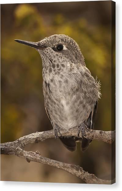 Baby Anna's Hummingbird Canvas Print