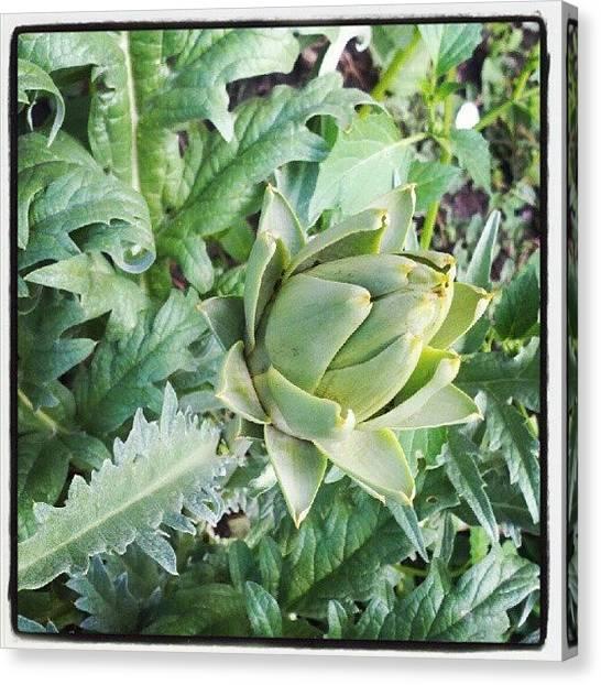 Artichoke Canvas Print - Baby Artichoke On A First Year Plant by Julie Van der Wekken