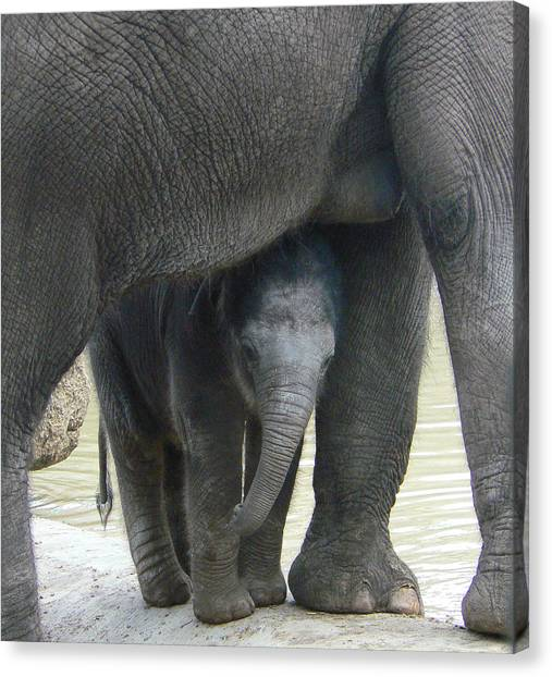 Baby Asian Elephant With Mother Canvas Print