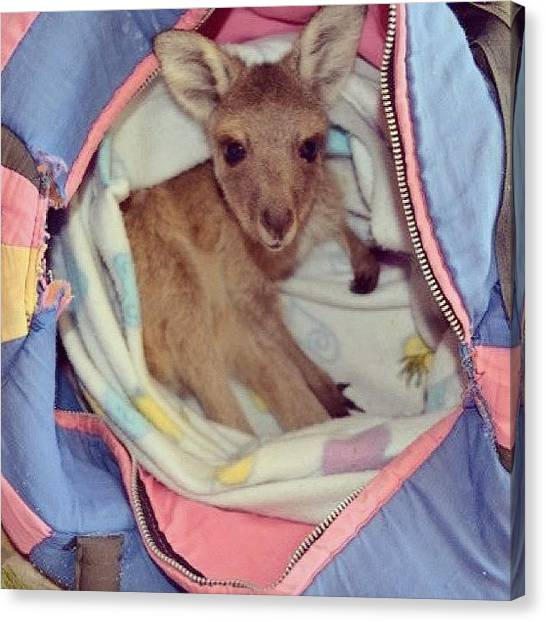Kangaroo Canvas Print - #baby #babyanimal #cute #joey #kangaroo by Julia Goldberg