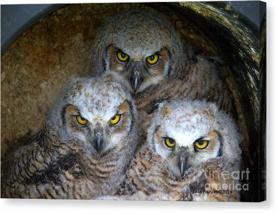 Baby Big Horned Owls Canvas Print