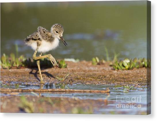 Baby Black-necked Stilt Exploring Canvas Print