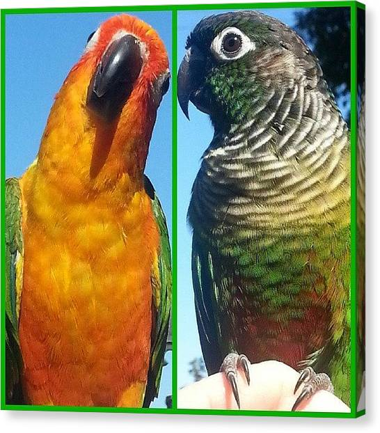 Parrots Canvas Print - Baby Bobbles And Zippy Enjoying The by Kevin Previtali