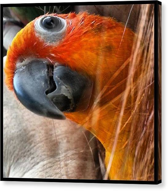 Parrots Canvas Print - Baby Bobbles Cuddling With Mom by Kevin Previtali