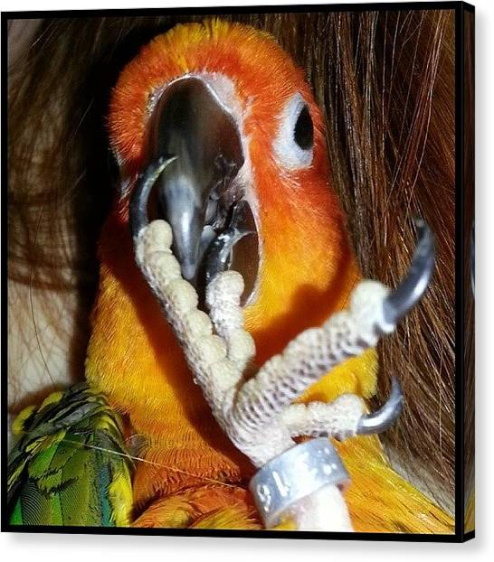 Parrots Canvas Print - Baby Bobbles Predicts The Seahawks Will by Kevin Previtali