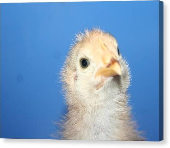 Baby Chicken Canvas Print by Carolyn Reinhart