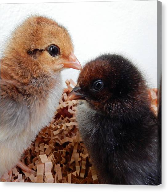 Baby Chicks Canvas Print